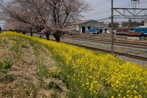 桜と菜の花と車両基地.JPG