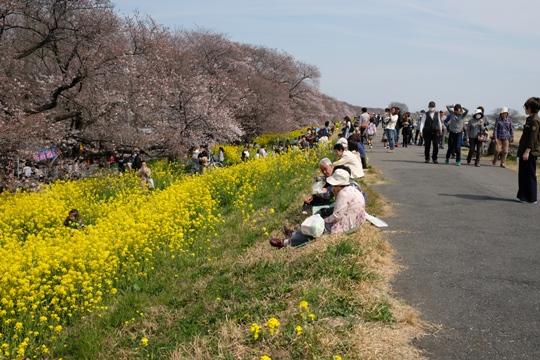 花見客が大勢に(荒川大橋上流の堤).JPG