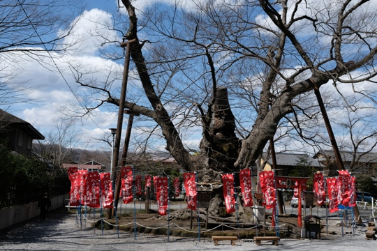 今宮神社の大けや木.JPG